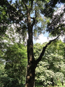 best shade trees for South Florida