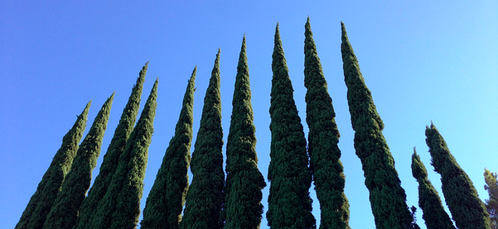 Cypress are elegant, narrow trees that can serve as anchors in the landscape.