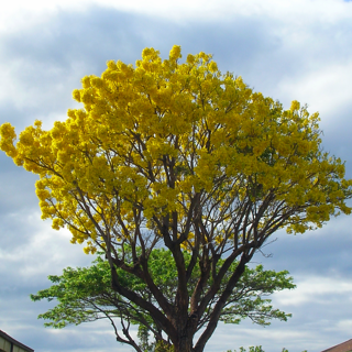 The best flowering trees for south florida flowering tree south florida 748706 editedg mightylinksfo